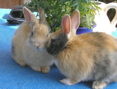 CBD für Kaninchen und Hasen